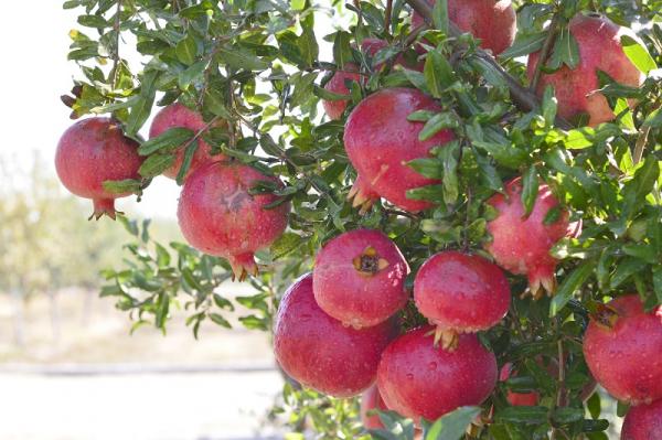 Этот плод повышает гемоглобин