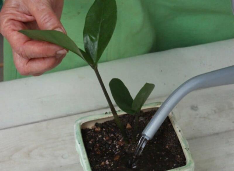 Восемь секретов ухода за долларовым деревом, чтобы оно зацвело