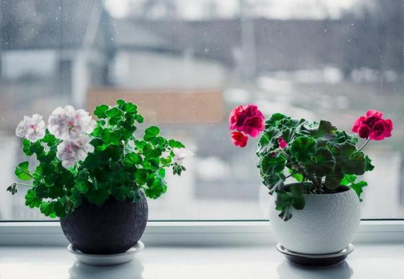 Перекись водорода для комнатных цветов — бальзам в холодное время года