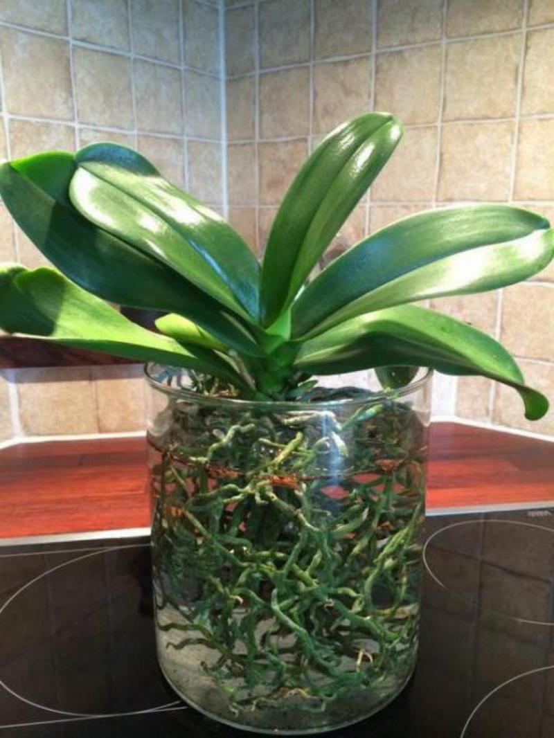 Витаминный коктейль для орхидей: как реанимировать орхидею
