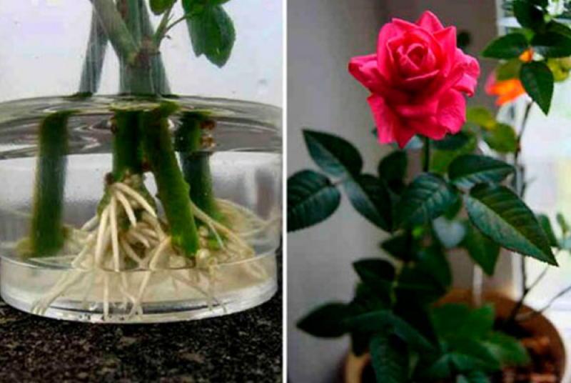 Как посадить уже срезанные розы, чтобы они росли
