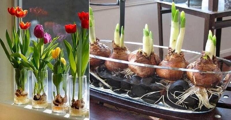 Цветущие тюльпаны круглый год. Секрет, как вырастить тюльпаны дома без использования земли! (Видео)