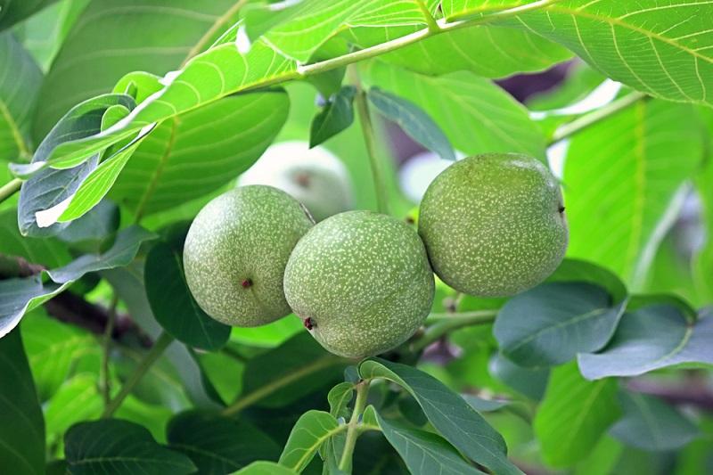 Царский орех защитит от всех болезней! Естественное решение проблемы с дефицитом йода и гипотиеозом