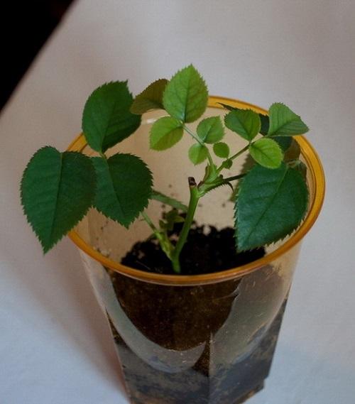 Как вырастить розу из срезанного цветка? С этим способом и садовник не нужен.
