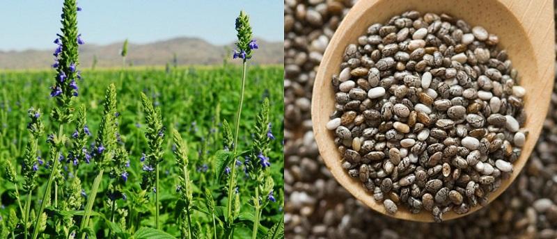 как семена чиа помогают худеть