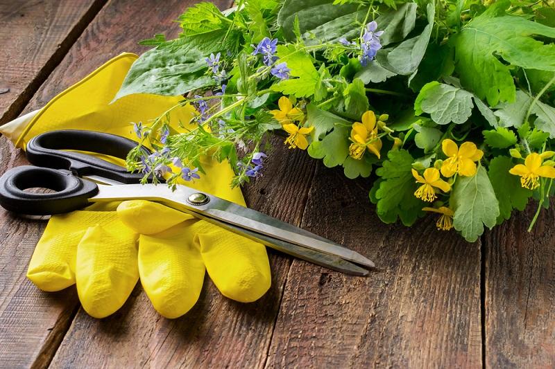 Чистотел поможет избавить сад и огород от противной тли. Обходимся без химии.