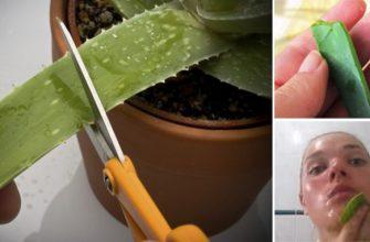Алоэ вера: удивительное растение, которое способно преобразить вашу кожу
