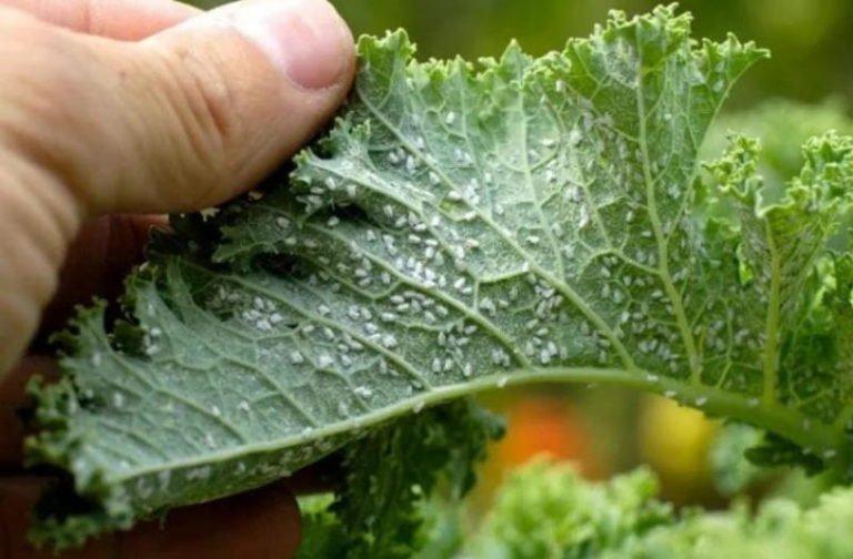На заметку садоводам: Рецепт с водкой спасает сад от тли