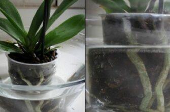 Это средство заставит вашу орхидею цвести через несколько дней. Удобрение, которое действительно работает!
