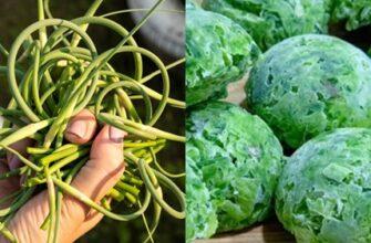Чесночные стрелки-богатый витаминами продукт,замечательная специя и прекрасное лекарство.